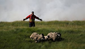 Rivington, UKA firefighter tries to move sheep away from scorched moorland as it burns during a fire on Winter Hill