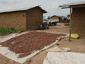 Cocoa dries outside the chief's house in the illegal village of Zanbarmakro in the Marahoué national park, Ivory Coast.