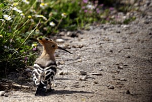 A hoopoe bird is seen in a field in the village of Damour in Lebanon