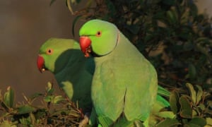 Two parrots in a park in Athens