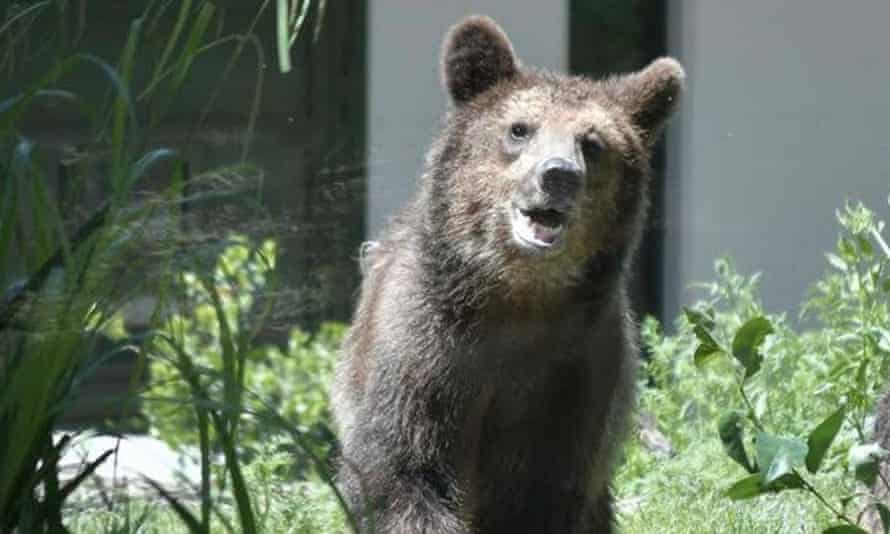 The bear, named M57. There are estimated to be about 90 Alpine brown bears in the Trentino region of Italy.