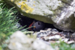 puffin almost hidden from view under a rock