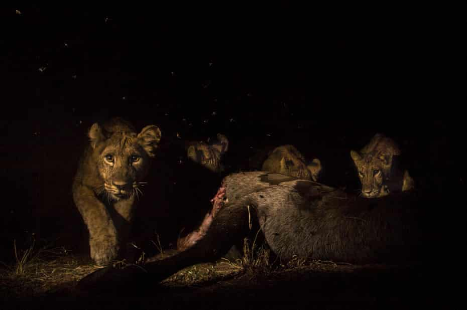 A young lion cub trips feeding on a waterbuck
