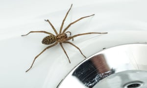House spiders are feared and commonly killed, but are part of Britain's wider ecology.