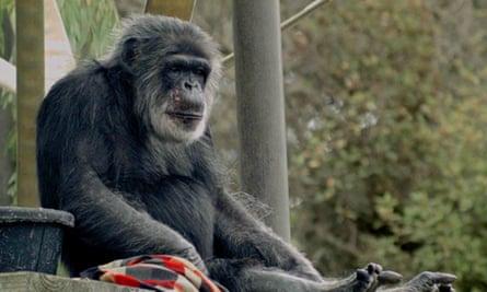 Cobby the chimp at San Francisco Zoo