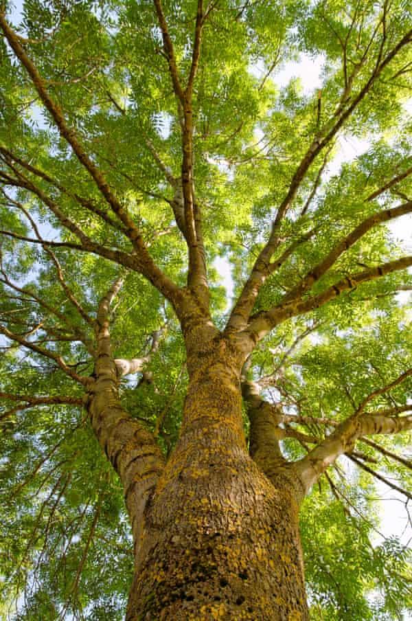 Robert Penn's favoured tree, the ash (<em>Fraxinus excelsior</em>).