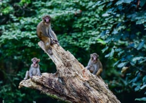 Wild rhesus macaques rest at the Guanshan nature reserve in east China's Jiangxi Province