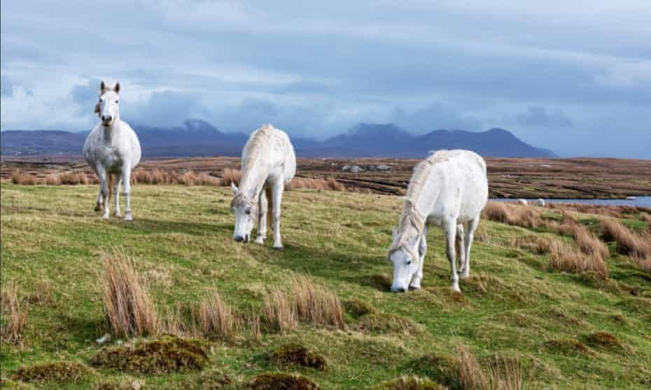 Three white Connemara ponies, Derrigimlagh Bog, County Galway, Ireland.