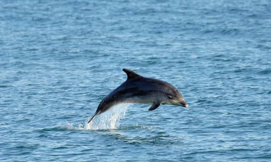 Bottlenose dolphin, UK