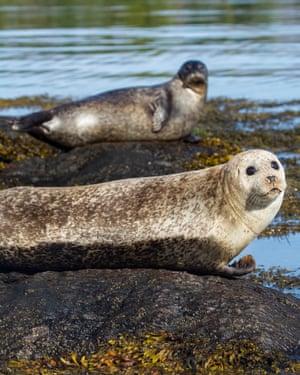 Grey seals -Halichoerus grypus-, Bantry Bay, Cork, Ireland, Europe