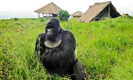 A mountain gorilla at the Virunga National Park.