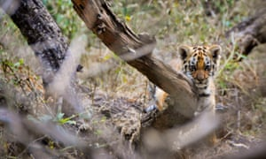 A wild tiger cub in India