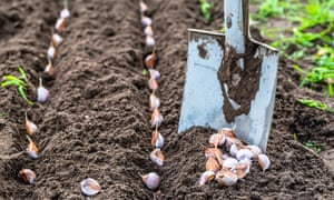 Forgotten to plant garlic? It's not too late.