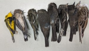 Dead birds found by biologists from New Mexico State University in the US.