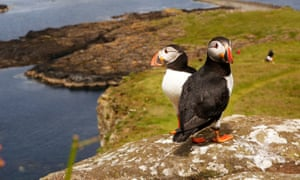 A pair of puffins on the Treshnish Isles