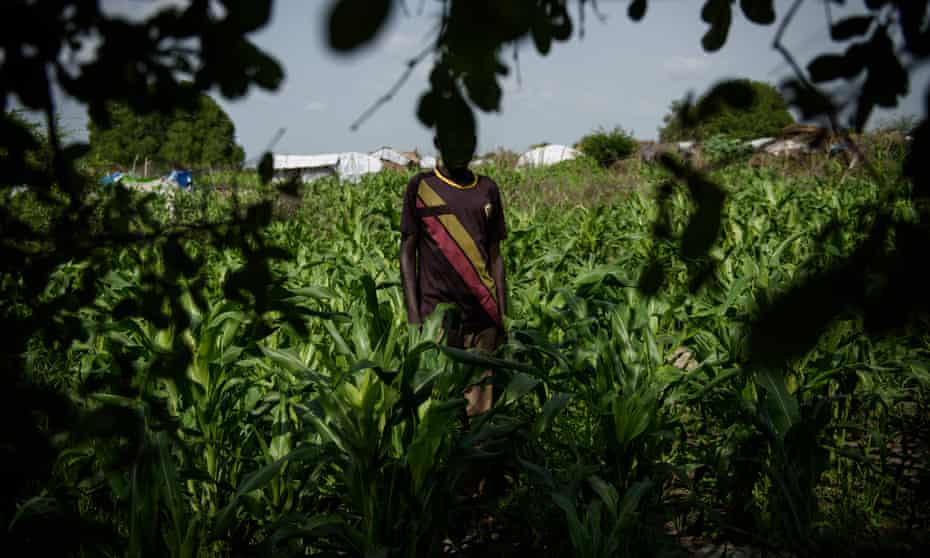 Tomodho amid the family's maize crop at his family's home in Pibor, South Sudan.