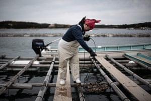 A farmer removes a net of oysters