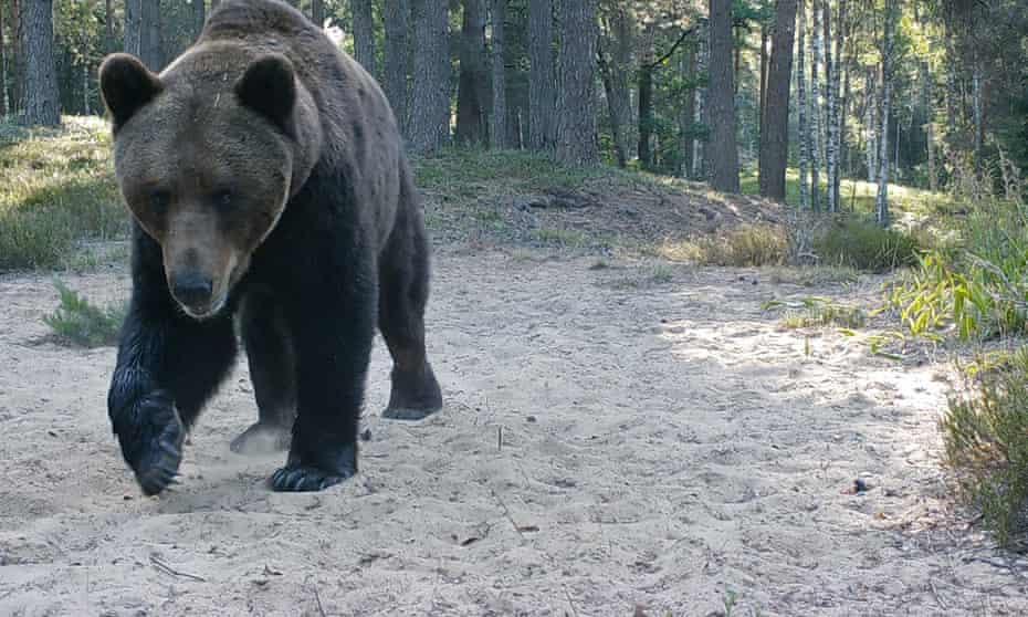 A dozen bears roam the forest near Vadim's home