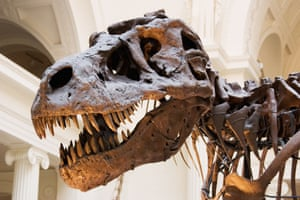 A Tyrannosaurus rex at the Field Museum Chicago Illinois. The skeleton is an original but the skull shown here is a cast as it is too heavy to mount without risking damge. The original fossil head sits in a case below.