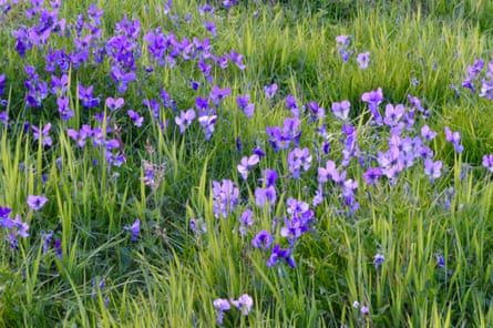 Mountain pansies in every shade of purple and blue