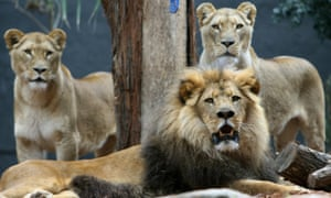 Adult African lions