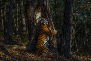 Animals in their Environment and Garand Title Winner: The embrace by Sergey Gorshkov, Russia Winner 2020  With an expression of sheer ecstasy, a tigress hugs an ancient Manchurian fir, rubbing her cheek against bark to leave secretions from her scent glands. She is an Amur, or Siberian, tiger, here in the Land of the Leopard National Park. Sergei installed his first proper camera trap in January 2019, opposite this grand fir. But it was not until November that he achieved the picture he had planned for, of a magnificent tigress in her Siberian forest environment.