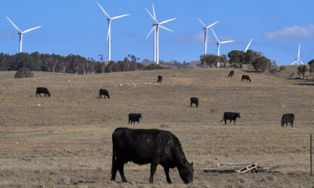 Cows roam around near a wind farm in Bungendore