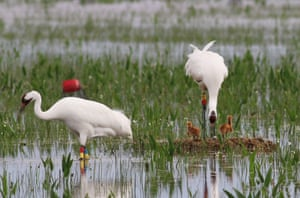 A female endangered whooping crane tends to her two chicks