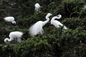 Egrets at Xiangshan forest park in Xiangshan Township of Nanchang, China