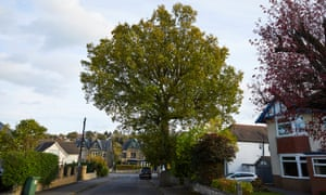 The 150 year old Vernon Oak in Dore, one of thousands of Sheffield's street trees earmarked to be felled.