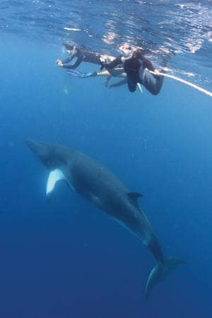 Swimming with dwarf minke whales in Queensland