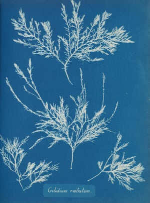 Gelidium Rostratum by artist Anna Atkins, around 1853.
