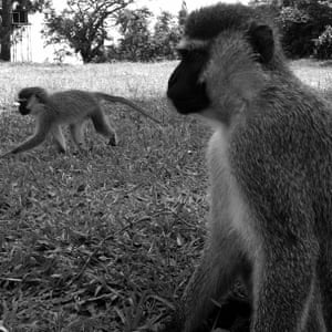 Two wild vervet monkeys in a grassy clearing