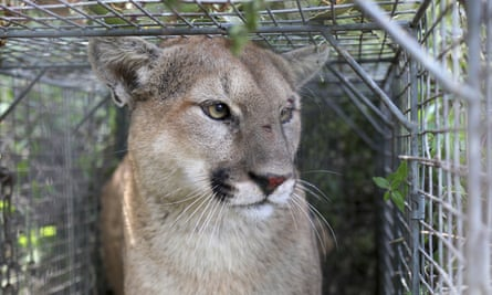 A young male mountain lion much like this one was safely captured after roaming San Francisco for two days.