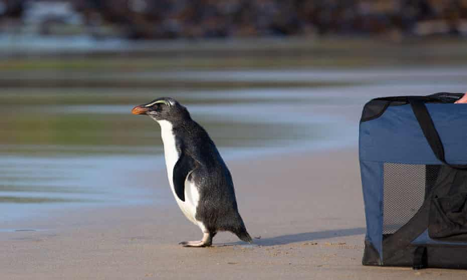 A Fiordland penguin being released back into the ocean by Zoos Victoria on Phillip Island, south of Melbourne. The penguin was rescued by Melbourne zoo's marine response unit.