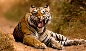 Tiger snarling in Ranthambore, India