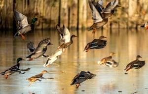 Wild ducks in Godewaersvelde, northern France