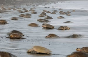 The arrival of one olive ridley sea turtle (Lepidochelys olivacea) at the beach of Ostional, Costa Rica, Pacific coast, can be tEJHJTN The arrival of one olive ridley sea turtle (Lepidochelys olivacea) at the beach of Ostional, Costa Rica