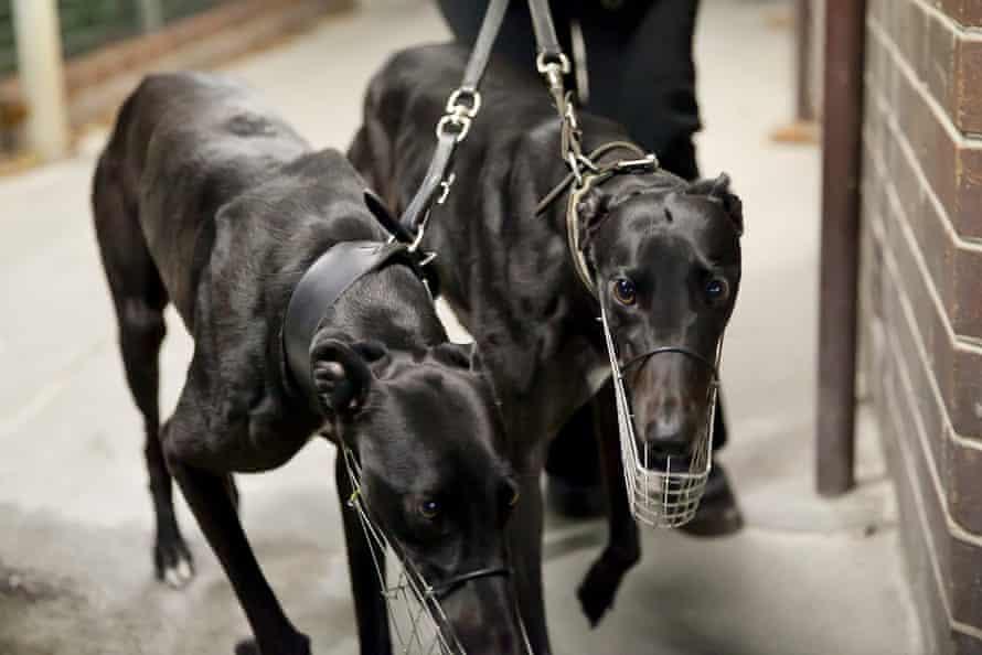 Greyhound racing at Wentworth Park in Sydney.
