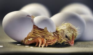 A freshly hatched chick rests after strong efforts to break through its egg.