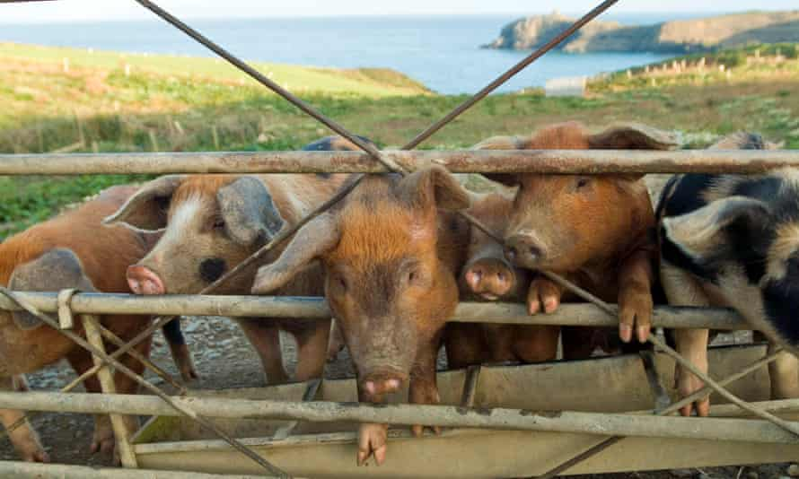 Piglets on an organic farm ecological in Wales.