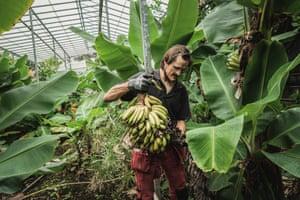 Kjartan, a researcher at the Icelandic Agricultural University, in the banana plantation in Hveragerði