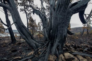 Burnt thousand-year-old pencil pine, Mackenzie fire, Tasmania, Australia. Ignitions of 'dry lightning' fires are increasing due to climate change, sparking fires that have killed species in Ancient Gondwanan rainforests thought to be over 1000 years old.