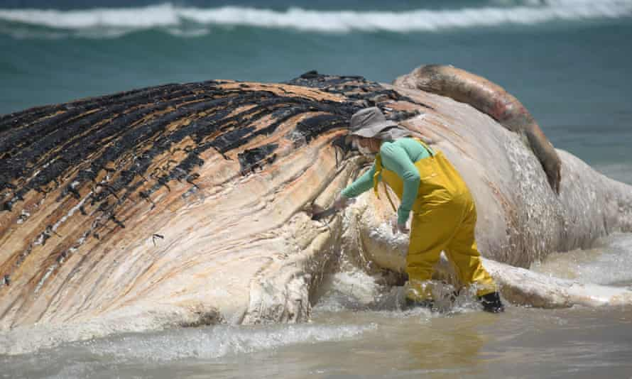 Biologists collect pieces from the dead whale