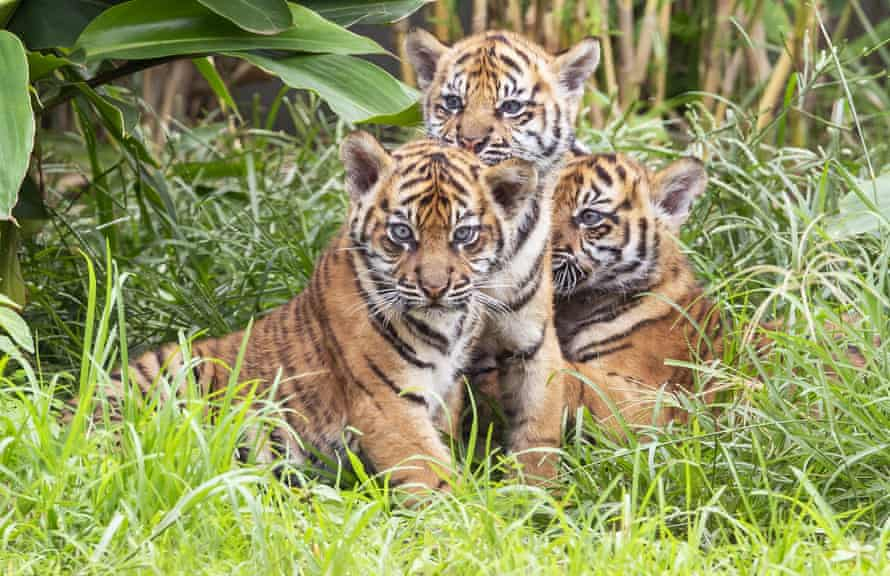 Three Sumatran tiger cubs born at Taronga zoo make their first public appearance on 29 March 2019.