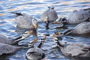 A flock of bar-headed geese in a park in Lhasa, Tibet