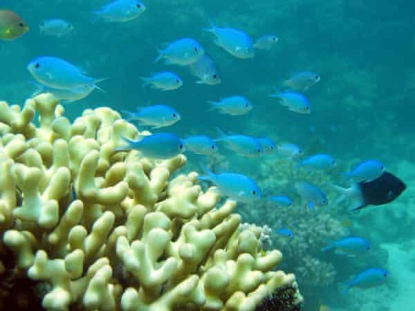 The Great Barrier Reef in Australia is in danger of destruction.