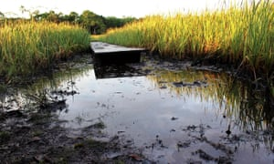 """The non-native reed, """"totora"""", which some people say is being planted in the Pacaya Samiria National Reserve in Peru's Amazon to conceal oil contamination."""