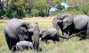 A group of elephants in the Kwedi area of the Okavango delta in Botswana.