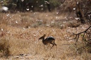 Desert locusts fly past a dik-dik antelope near the town of Nanyuki, Kenya